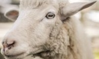 Holbrook Sheep and Wool Fair