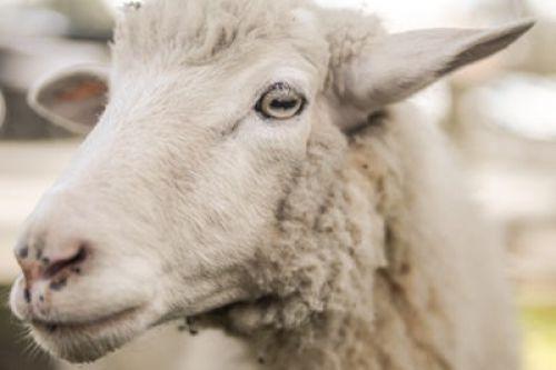 Holbrook Sheep and Wool Fair - Visit Wagga Wagga