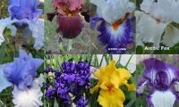 Riverina Iris Farm Open Day in Wagga Wagga